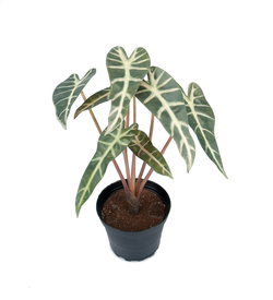 Mr. Plant  - Alocasia  Grønn - Mr. Plant