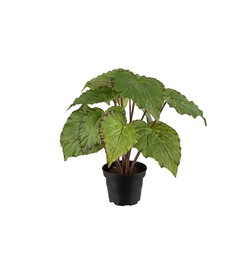 Mr. Plant  - Rexbegonia 30 cm Grønn - Mr. Plant